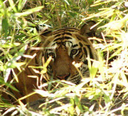 tiger lurks